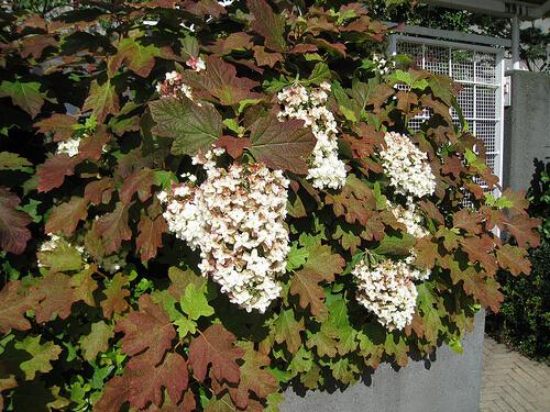 Sortes - Faut il couper les fleurs fanees des hortensias ...